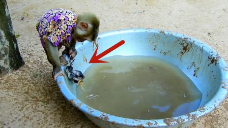 小鸡不幸掉进水盆,小猴子的举动让人意外,这也太有爱心了吧!