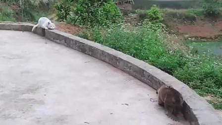 小奶狗被猫咪误当成老鼠,下一秒别笑,猫咪太傲娇了!