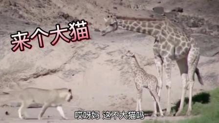 长颈鹿:你个大猫离我远点的!别说我踢你啊