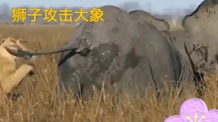 动物世界:狮子攻击大象