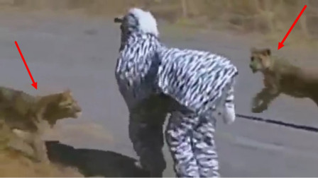 2名男子作死假扮斑马,不料被狮子发现了,这下想跑都来不及了!
