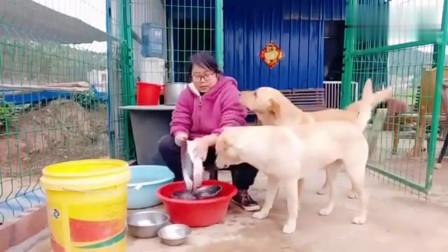 流浪狗:咬鸡鸭的流浪狗旺旺来到福园,连饭都不敢吃,这又是闹哪出啊?