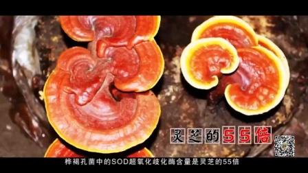 桦树茸有超过215种有效成分