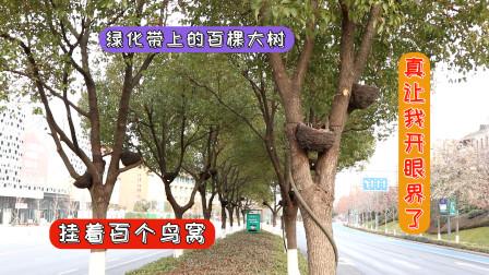 百棵大树上面都是鸟窝,真的是世界之大无奇不有,真让我开眼界了