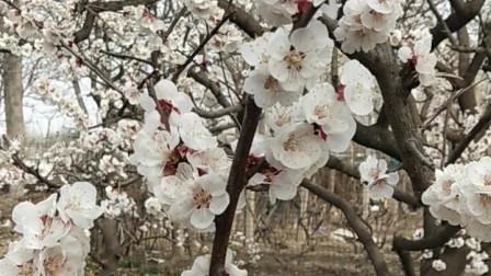 春天美广场舞《娇艳杏花》