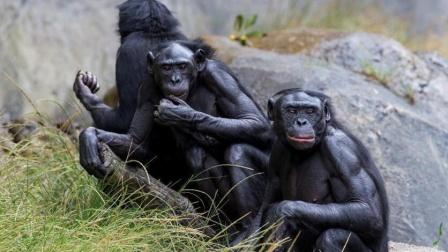 美国9只大猩猩接种新冠疫苗