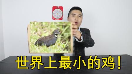 爬宠开箱:世界上最小的鸡,到底长啥样子?