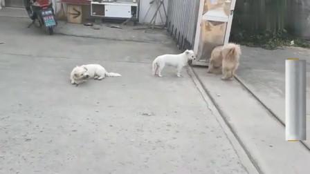 流浪狗:被收养的流浪狗想和小黄做朋友,双方都不好意思先主动,结果怎样