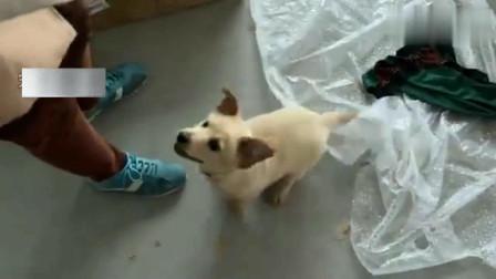 流浪狗:聪明的流浪狗懂得向人救助,成功进住办公室