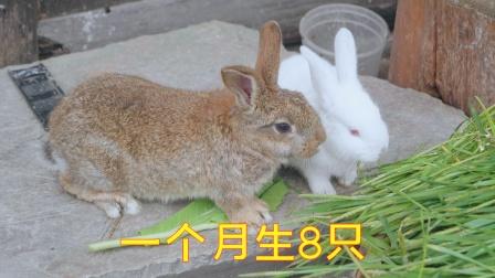 月月兔为什么农村没人养,一个月生十几只,那不是发财了吗
