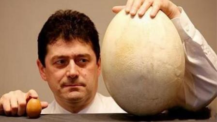 世界上最大的蛋,一颗相当于上百枚鸡蛋,拍卖价格更是达到51万!