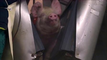 """全自动杀猪电击""""爆头"""",很多人都没见过!"""