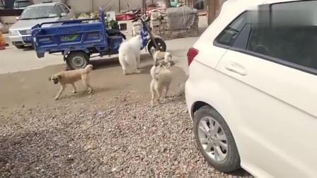 流浪狗:被遗弃的流浪狗萨摩耶,长得白白胖胖