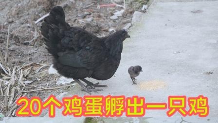 农村小伙从来不买鸡鸭鱼吃,家里却有吃不完的鸡和蛋