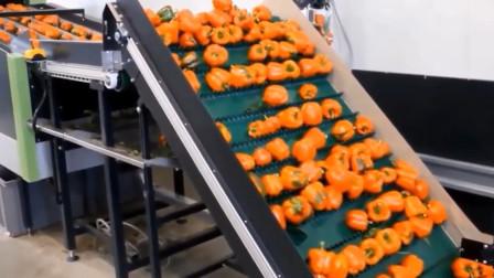 外国水果精装工厂,全程机械化,工人只要搬个板凳看着就行!