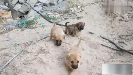 6只没妈流浪狗崽表现,足以在狗界立足,即使当流浪狗也不会挨饿