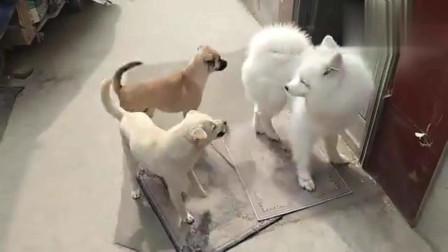 被遗弃的流浪狗萨摩耶,长得白白胖胖,每个表情萌翻了太可爱了!