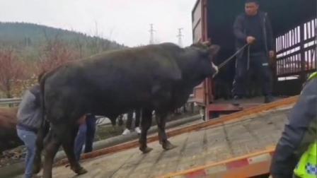 """货车侧翻导致牛高速上""""自由奔跑"""""""