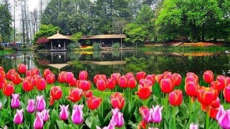 杭州西湖太子湾公园郁金香樱花等百花盛开导游解说音乐欣赏纪录片2021年3月15日