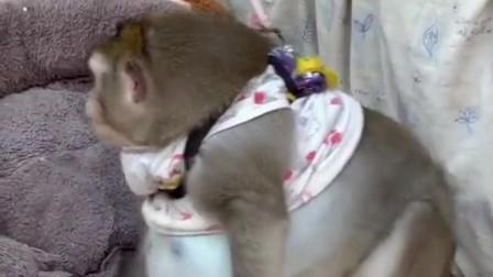 杂技团的猴子出现幸福肥,身上的衣服都被挤在上面,肚皮大得很!