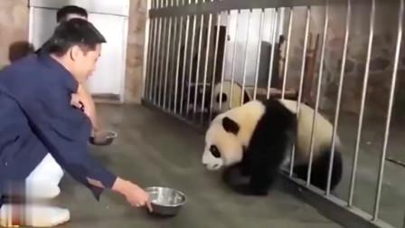 大熊猫宝宝:铁栅栏是神马虚胖的宝宝眼中只有盆盆奶!
