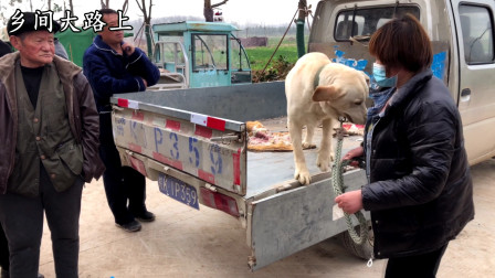 拉布拉多卖850块,农村大姐数钱的时,爱狗头也不回跟新主人走了