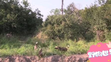 非洲三哥对羚羊掏肛现场
