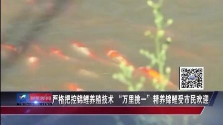 """严格把控锦鲤养殖技术""""万里挑一""""精养锦鲤受市民欢迎"""