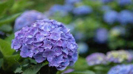 """想让绣球开出""""巴掌大""""的花朵,春季3点养护很重要,赶紧试试"""