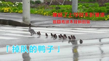 看这只掉队的鸭子,像不像平时不听课,每次考试还不挂科的那位?