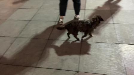 郑州街头跳广场舞的狗子,节奏感太强了,达文西驻足观看