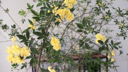 想要打造花墙,试试黄木香,皮实好养,开花金灿灿的,颜值超高