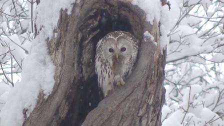 猫头鹰从树洞里抓出一只老鼠
