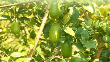 喜欢栽种果树盆栽,试试香水柠檬,果实大而无核,一年四季都能开花结果