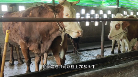 这些母牛品种相当好,养殖户上称要23一斤,小牛犊要50一斤贵吗?