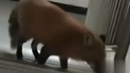 """女子随手拍下楼道里""""流浪狗"""",儿子看后惊呼:妈妈,这是狐狸!"""