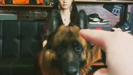 不会玩捉迷藏的金毛不是好的护卫犬!