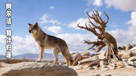 原始人的一次善举和坚持,让野性的狼也懂得报恩,结局看哭了