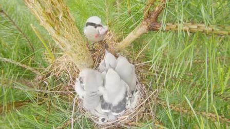 伯劳鸟育雏,看鸟妈如何给六个幼崽分食?