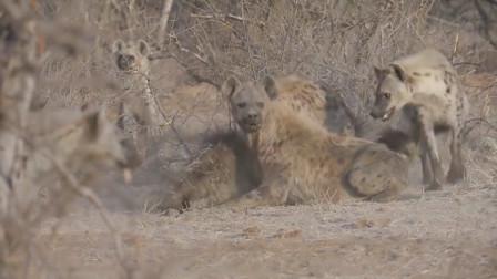 等级森严的鬣狗族群,小鬣狗遭到大鬣狗屠杀