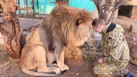 饲养员和大公狮头碰头,接下来狮子不耐烦了