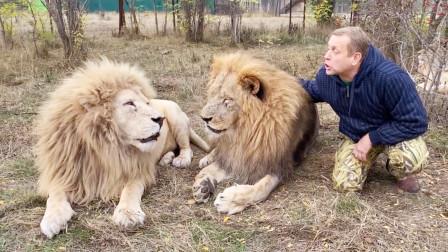 饲养员与大狮子近距离互动,画面太暖心了