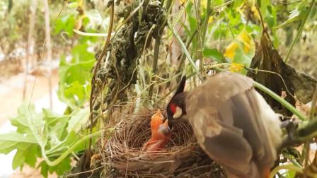 野蛮的布谷鸟吃掉同类幼崽