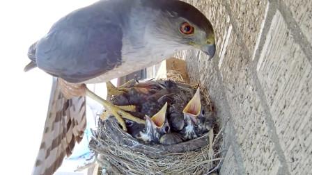 知更鸟窝遭鹰隼突袭,仅剩的一只幼崽离巢跳下