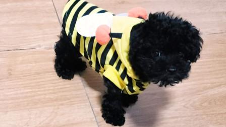 黑糖小时候:小奶狗?还是黑蜜蜂?