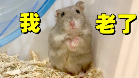网红仓鼠最后一个视频,捡回家到现在两年了,感谢他带来的快乐!