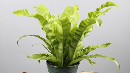 光照少也能养好的鸟巢蕨,耐阴又好养,还能净化室内空气