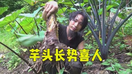 050 丛林荒野求生,芋头长势旺盛,今年应该是丰收年!