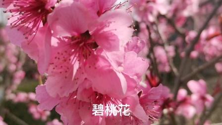 路边的花朵,碧桃花开
