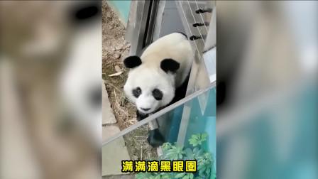 动物园了不敌系列:大熊猫为渣男熬夜黑了眼圈!